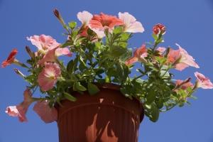 petunia-flowerpot-1445937-m